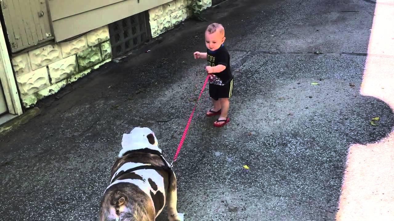 十一个月宝宝溜80磅斗牛犬 11-month-old trying to walk 80 pound bulldog